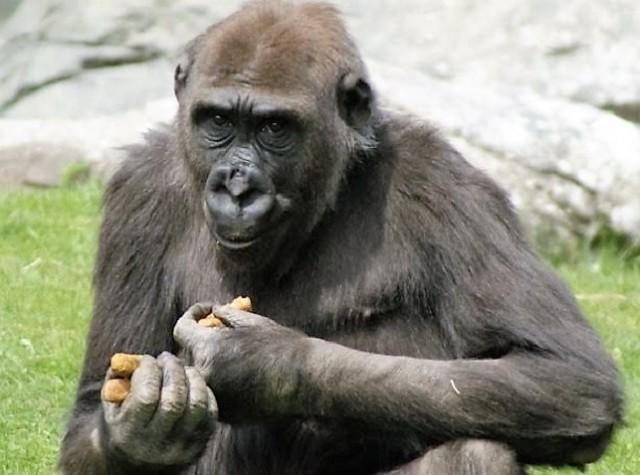 Image: Susie the gorilla