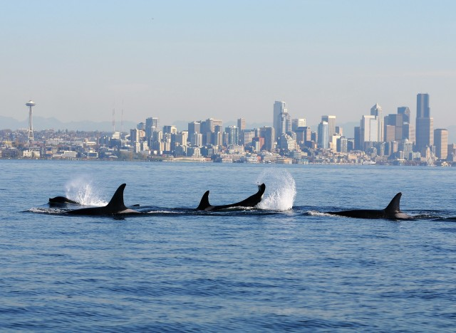 Image: Orcas
