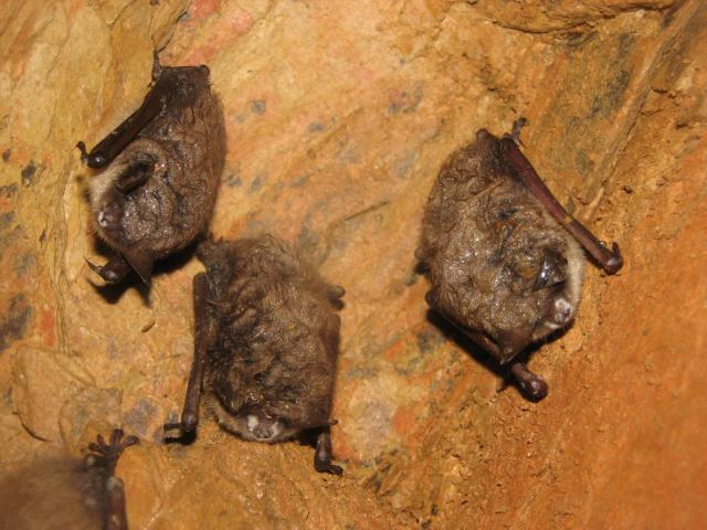 Image: Infected bats