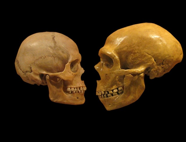 Image: Human and Neanderthal skulls