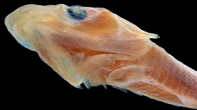 Duckbilled fish