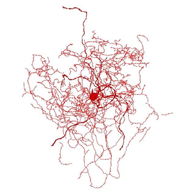 Rosehip neuron
